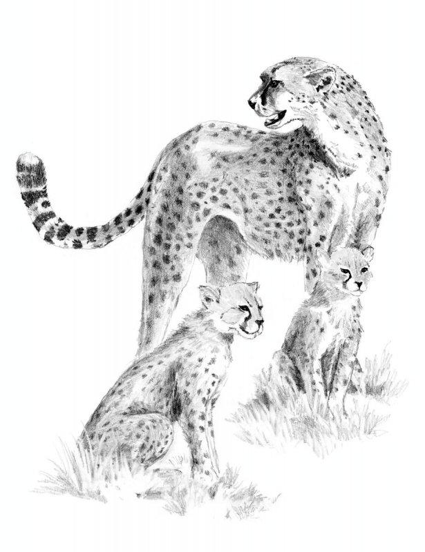 sketching  skizzieren  malen mit bleistift  gepard mit